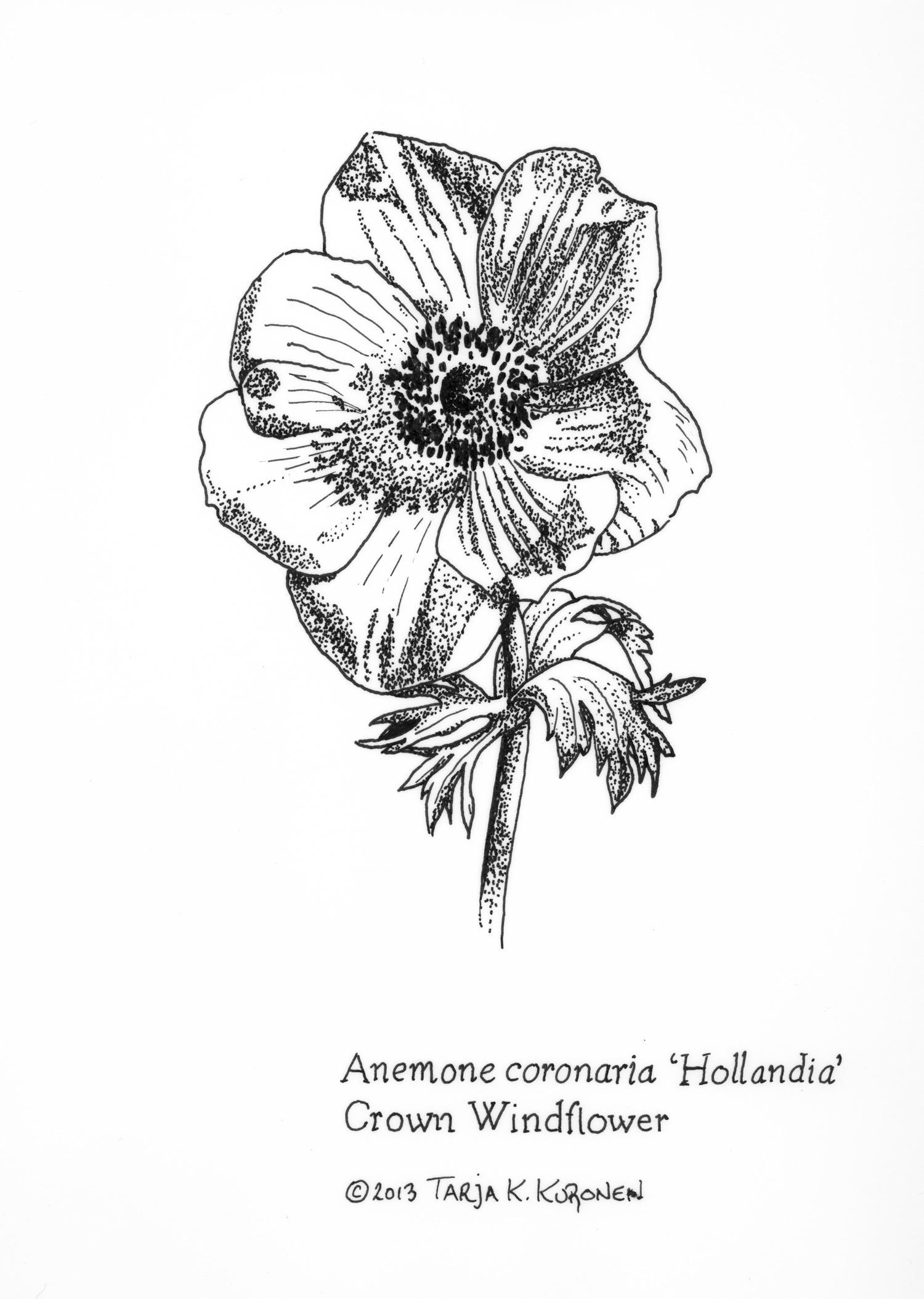 Anemone Flower Line Drawing : Botanical illustration tarja barton illustrator
