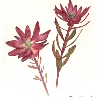 Leucadendron Illustration