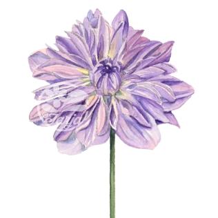 PurpleDahlia_fb