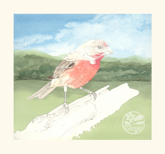 HouseFinch_InProgressScan_Dec6ii