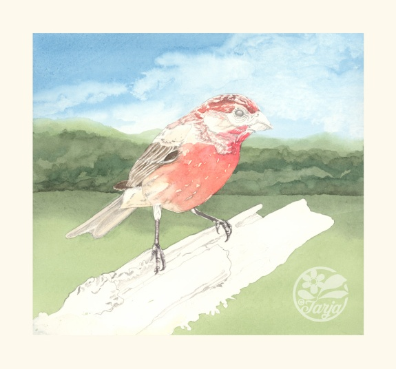 HouseFinch_InProgressScan_Dec6iii