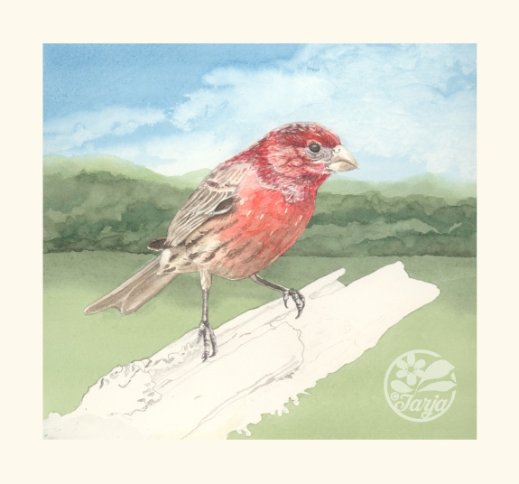 HouseFinch_InProgressScan_Dec6iv