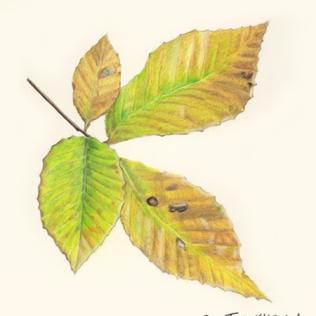 Illustrations_AutumnLeaf_web