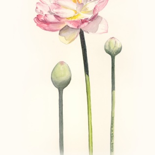 WaterLily Watercolour Illustration