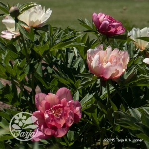PeonyMultiColours4