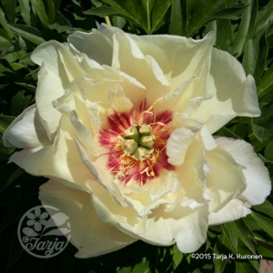 PeonyWhiteWithRedMiddle3