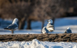 IMG_9940-seagulls-cr-web