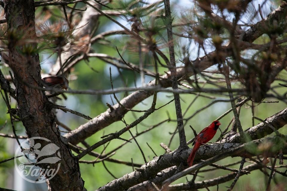 Cardinals IMG_0196