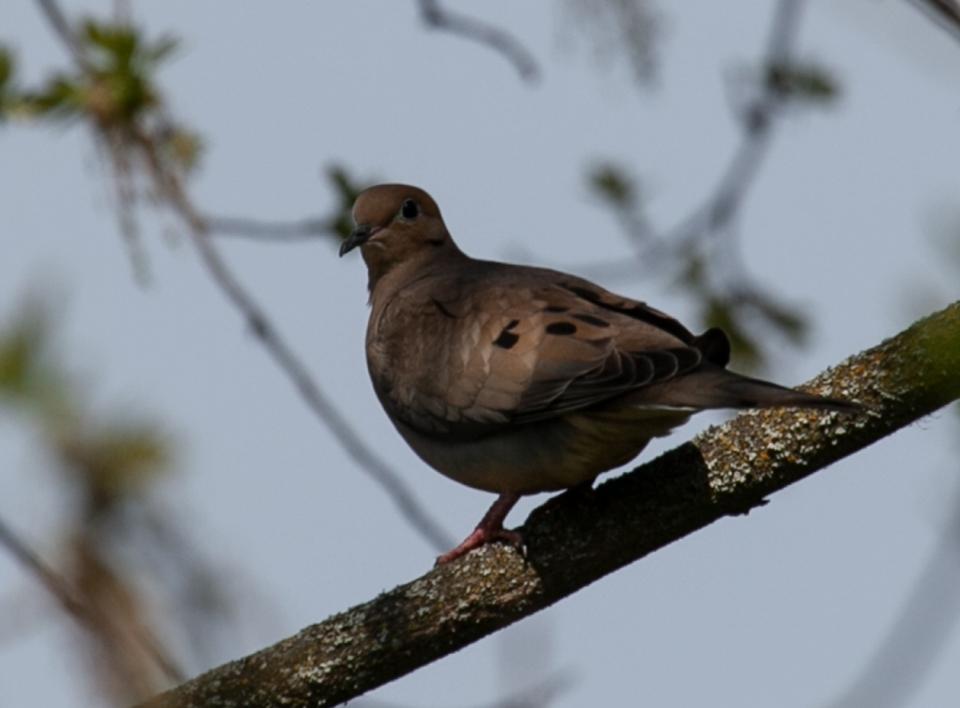 Dove-IMG_0013_web
